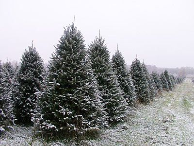 cut your own christmas tree located 6 miles east of westfield on cty hwy e between cty b and cty y - Cut Your Own Christmas Tree
